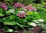 Бадан - выращивание и уход