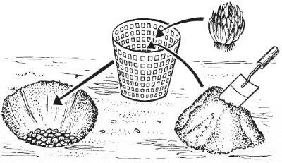 Лилия - выращивание и уход