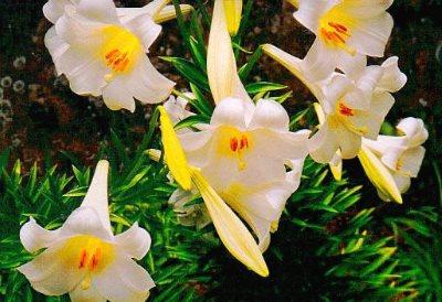 Лилия Длинноцветковые гибриды
