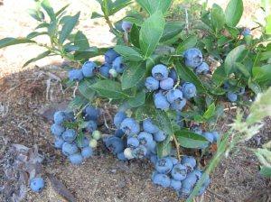 Голубика садовая -посадка и уход