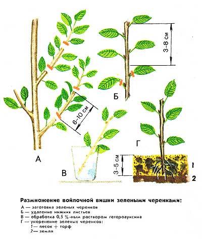 Как размножить войлочную вишню зелеными черенками